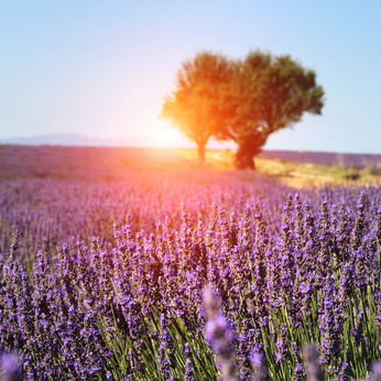Abundant lavender field in Provence, France